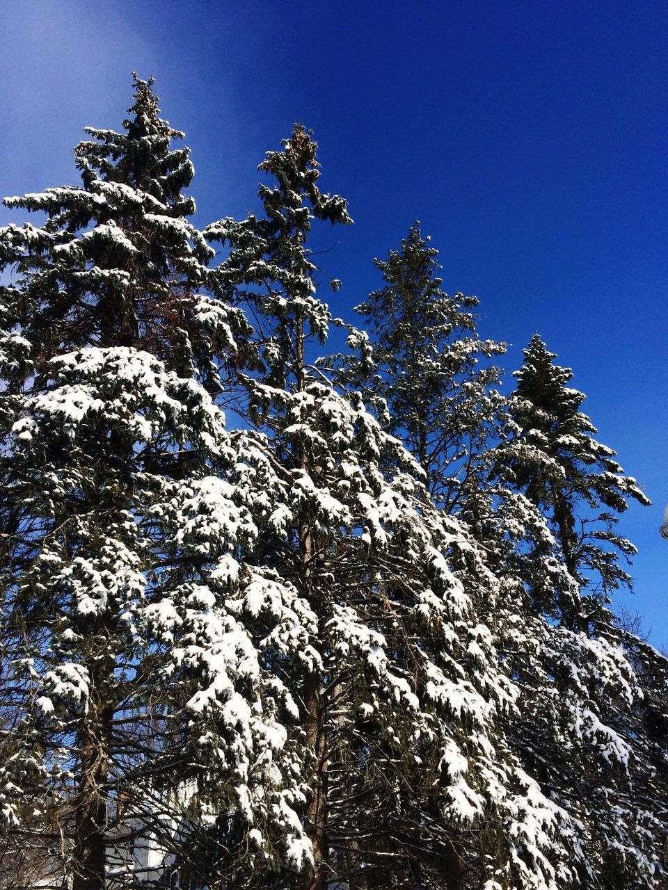 Low Angle View Of Snow Covered Trees Against Clear Blue Sky