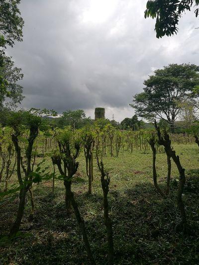 Moringa Oleifera Moringa Green Color Tranquil Scene Cloudy Nature Rural Scene Santander-Colombia