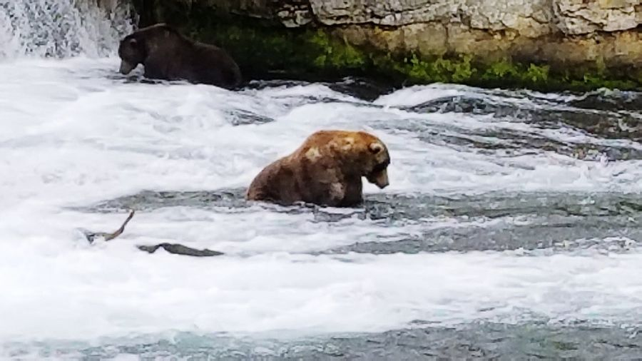 Animal Wildlife Nature Animal Bear Sea Mammal No People Animals In The Wild Relaxation Full Length Day Outdoors Water Beauty In Nature Katmai Katmai National Park Alaskanadventures Alaska Grizzly Bear Nature