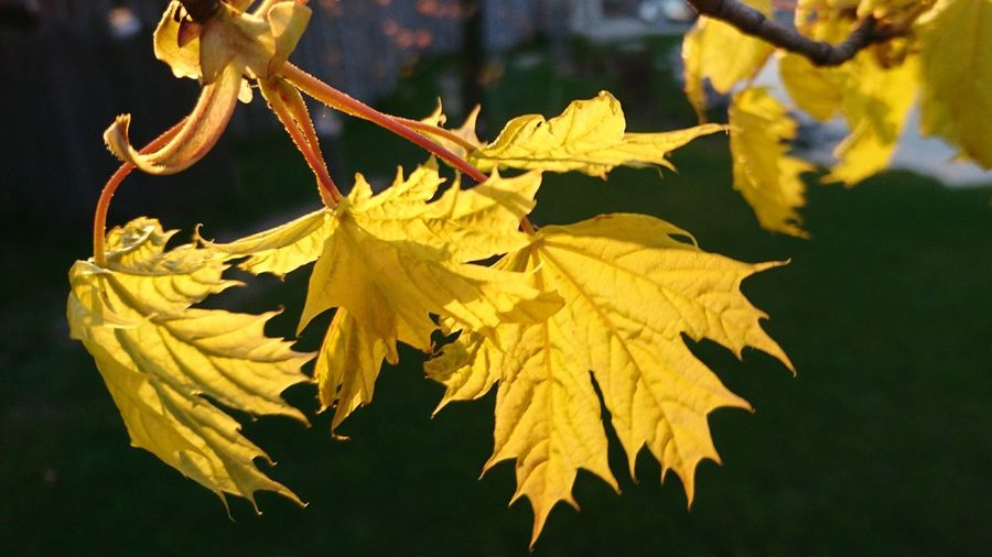 Leaf Yellow Nature Outdoors Day Gold Colored No People Close-up Fragility Plant Part Tree Beauty In Nature Spring May Light Sunlight Magiczne Ogrody