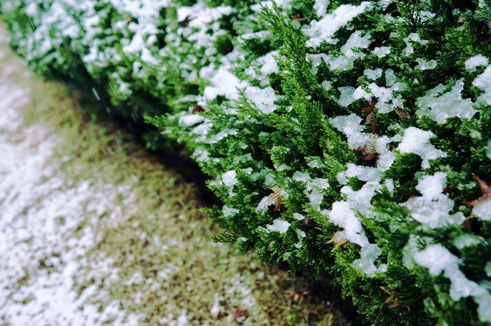 几何 Nature White Color Beauty In Nature Flower Plant No People Shades Of Winter Growth Snow Freshness Day Outdoors Winter Green Color Close-up Cold Temperature EyeEmNewHere