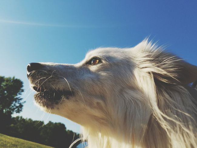 One Animal Mammal Profile View Animal Head  Day Close-up Pets Clear Sky Nature Outdoors Low Angle View Animal Themes Domestic Animals No People Sky American Eskimo Animal Dog Portrait Dogs Of EyeEm Dogoftheday Pet Portraits
