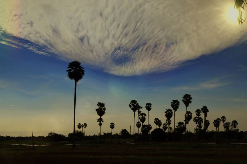 Palm Tree Field