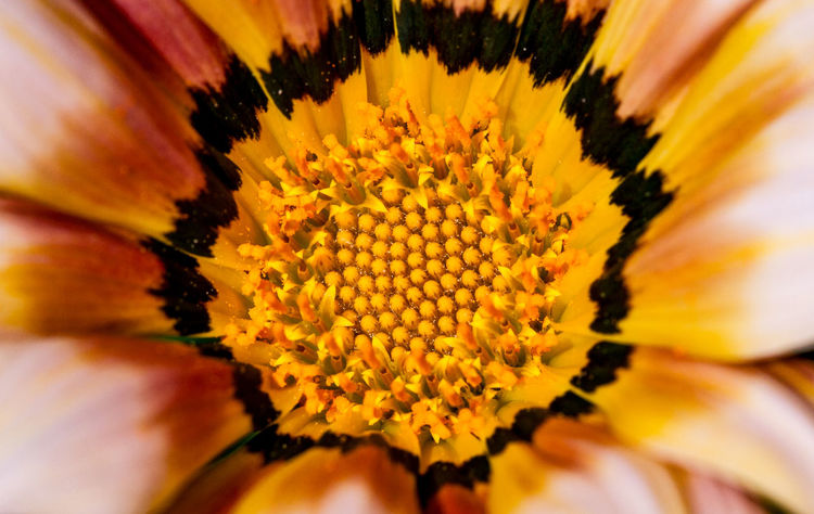Spring is here Macro Photography Backgrounds Beauty In Nature Close-up Extreme Close-up Flower Flower Head Flowering Plant Fragility Freshness Full Frame Gazania Growth Inflorescence Macro Flower Nature No People Petal Plant Pollen Shepparton Springtime Vulnerability  Yellow
