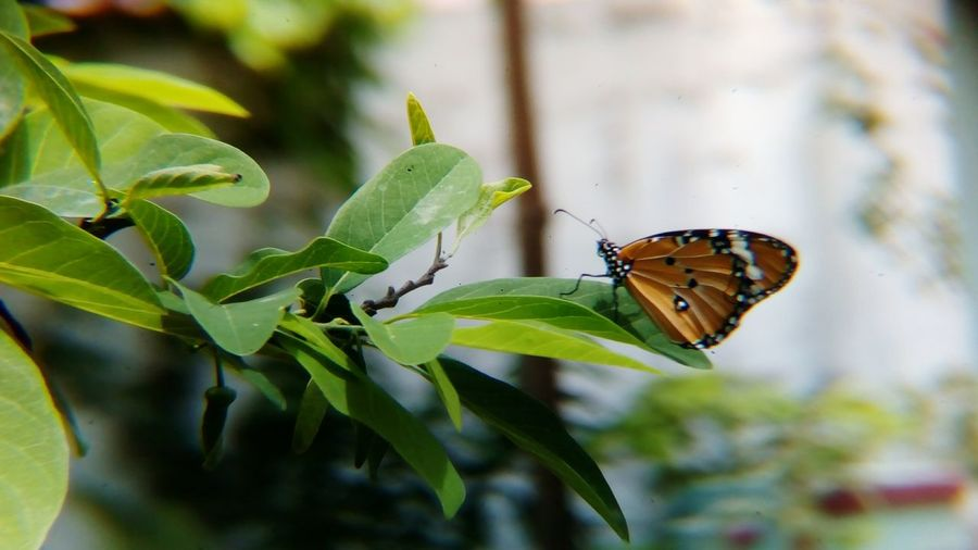 watch the video of this butterfly 👉 https://youtu.be/0zInKiOT9QM EyeEm Selects Insect Animals In The Wild One Animal Animal Wildlife Butterfly - Insect Animal Themes Leaf No People Close-up Focus On Foreground Outdoors Nature Day Plant Beauty In Nature Fragility Freshness African Monarch Butterfly Danaus Chrysippus Plain Tiger Butterfly Shot With Mobile Clip Lens