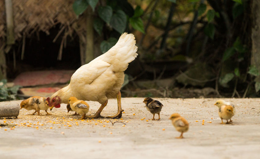 Animal Animal Family Animal Themes Animal Wildlife Baby Chicken Bird Chicken - Bird Day Domestic Domestic Animals Group Of Animals Livestock Mammal Medium Group Of Animals Nature No People Pets Selective Focus Vertebrate Young Animal Young Bird This Is Strength Moments Of Happiness