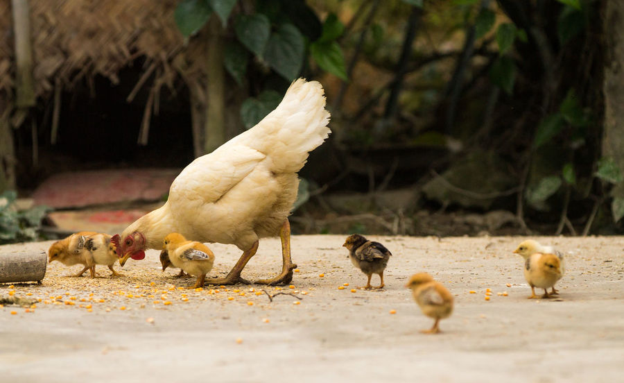 Animal Animal Family Animal Themes Animal Wildlife Baby Chicken Bird Chicken - Bird Day Domestic Domestic Animals Group Of Animals Livestock Mammal Medium Group Of Animals Nature No People Pets Selective Focus Vertebrate Young Animal Young Bird