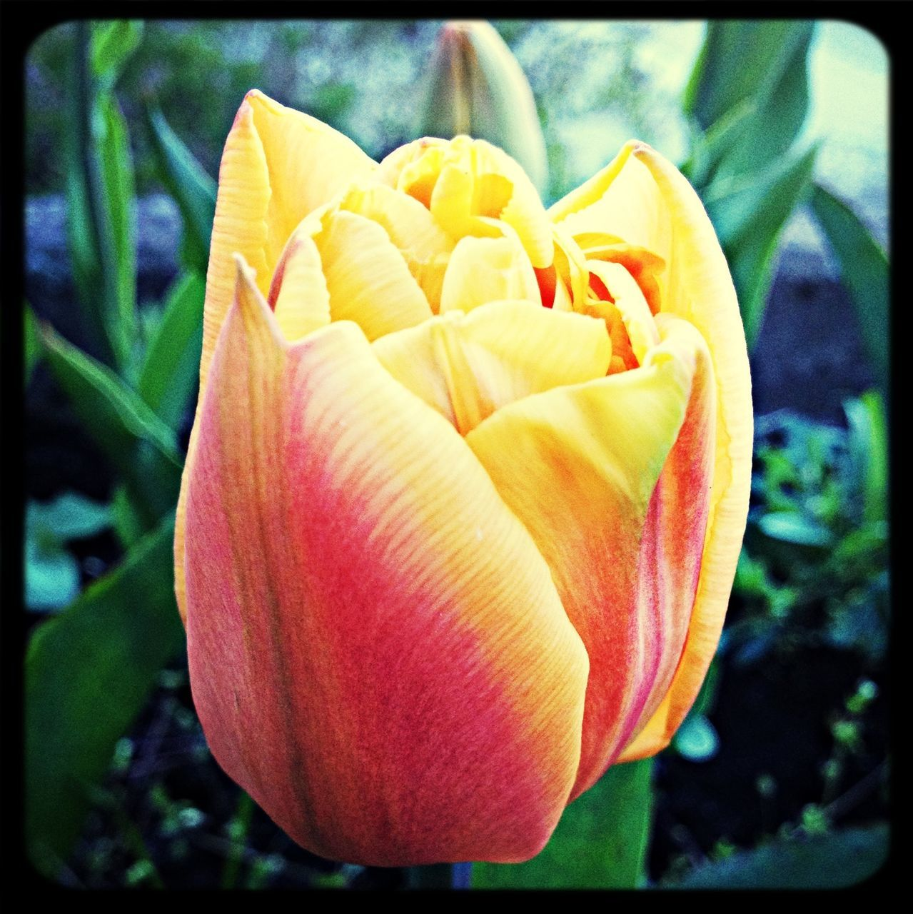Close up of a yellow-red tulip