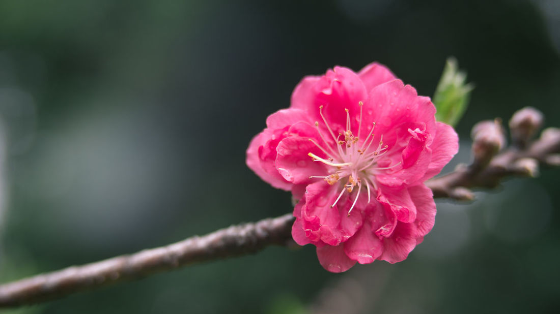 Flowers Growth Macro Macro Photography Peachblossom Pink Plants Red Traveling Showcase March