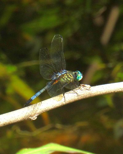 EyeEm Selects Dragonfly Perched Good Insect Dragonfly Animal Wildlife Nature One Animal Insect Animals In The Wild Animal Themes No People Outdoors Focus On Foreground Full Length Day Close-up Blue Summer Perching Fragility Beauty In Nature Damselfly Hunting Animals In The Wild Wings