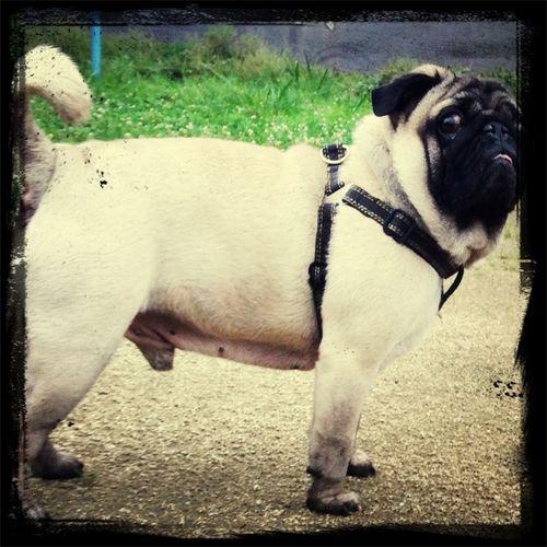 Pug Time Pug Life  Pug Sitter Pug Life ❤ メス求む☆彡