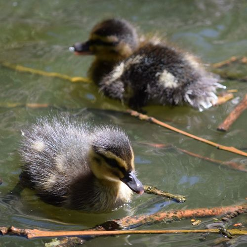 Ducklings Bird Young Bird Young Animal Water Lake Animals In The Wild Animal Wildlife Beak Water Bird Cute Outdoors Animal Themes No People Swimming Day Nature Close-up Eye4photography  Nature Eye4photography  Beauty In Nature EyeEm Nature Lover Pentaxamania