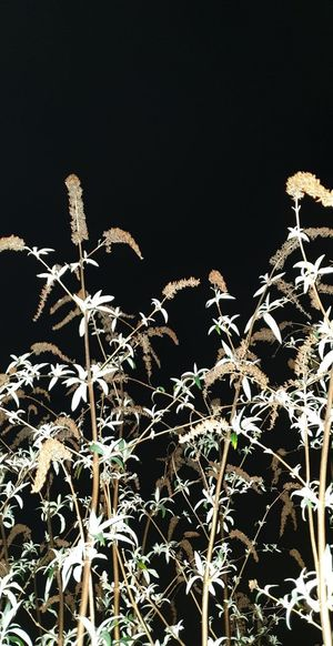 Low angle view of dry plant against sky at night