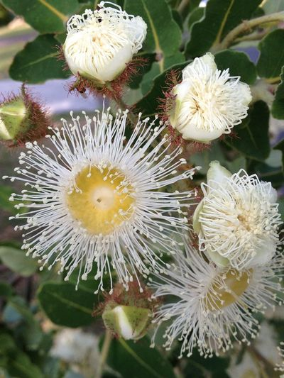 Beautiful Eucalyptus Blossom Nature Botanical Delicate Flower Bud Flowers Opening Green Colours White Color