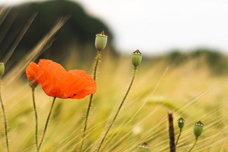 Close-up of poppy on field