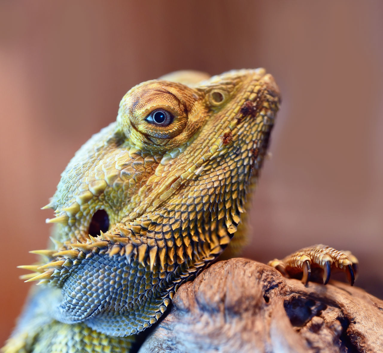 animal themes, one animal, bearded dragon, animals in the wild, reptile, close-up, animal wildlife, no people, focus on foreground, day, outdoors, nature