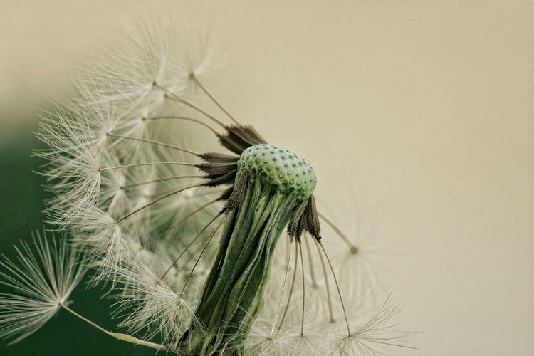 Close-up of dandelion plant