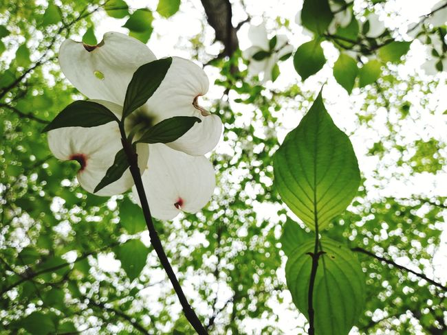 Dogwood Tree Dogwood Blossom Flower Growth Leaf Nature Day White Color Outdoors Green Color Fragility Plant Petal Beauty In Nature Branch Tree No People Freshness Springtime Flower Head Close-up Exceptional Photographs Best Shots EyeEm EyeEm Masterclass EyeEm Best Shots