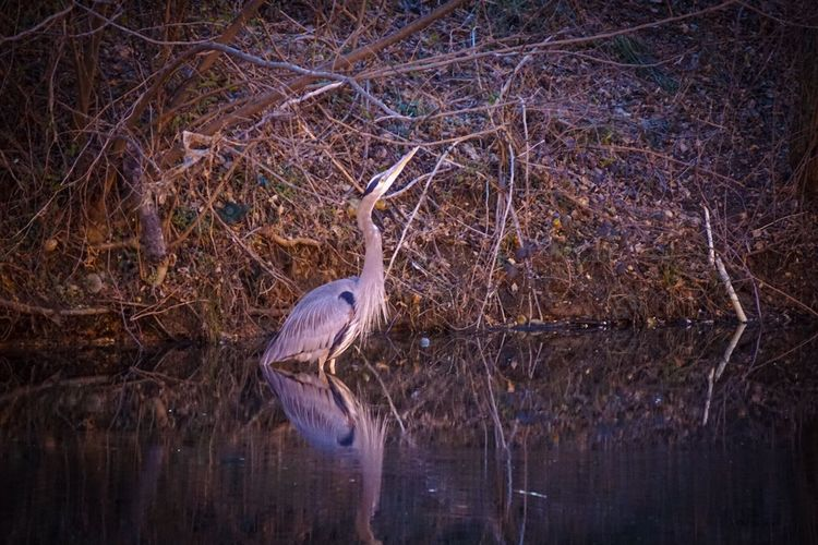 A Heron in the blue. Nightphotography Great Blue Heron Sony A6000 A6000