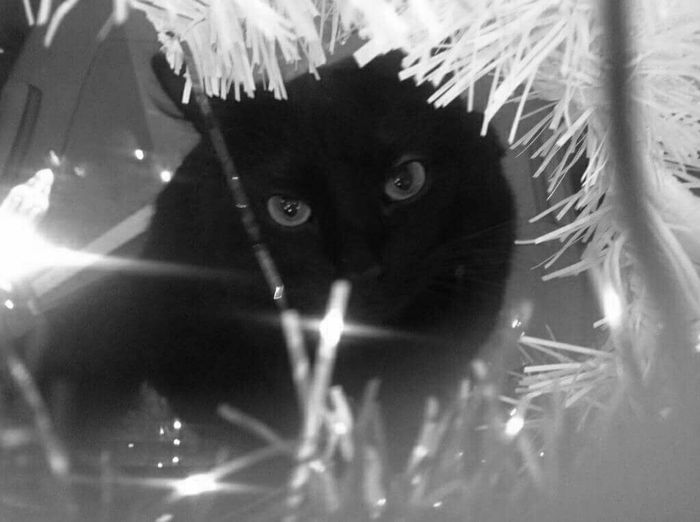 My cat smokey under the christmas tree.. Cats Cats Of EyeEm Black And White Photography Catsoftheworld My Black Cat Christmas Christmas Tree Holidays With Animals My Own Photography Animal_collection