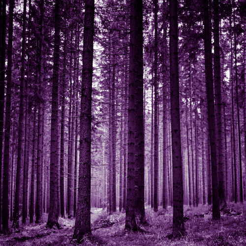 Pine trees in forest