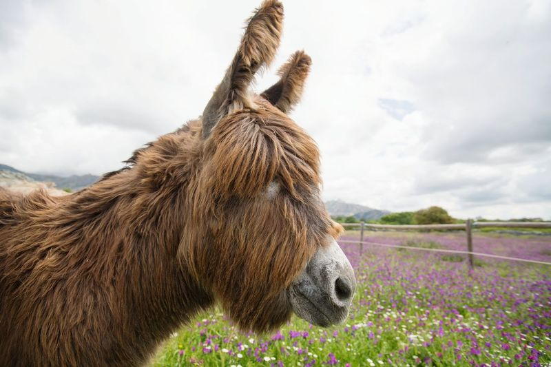 Donkey Head Flower Rural Scene Agriculture Mountain Summer Sky Close-up Cloud - Sky Donkey Animal Pen Herbivorous Stable Paddock
