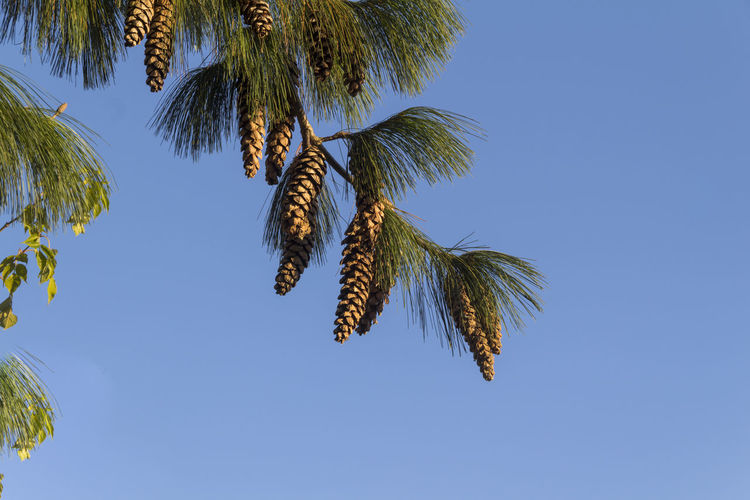Low angle view of spruce cones hanging from twigs against clear blue sky