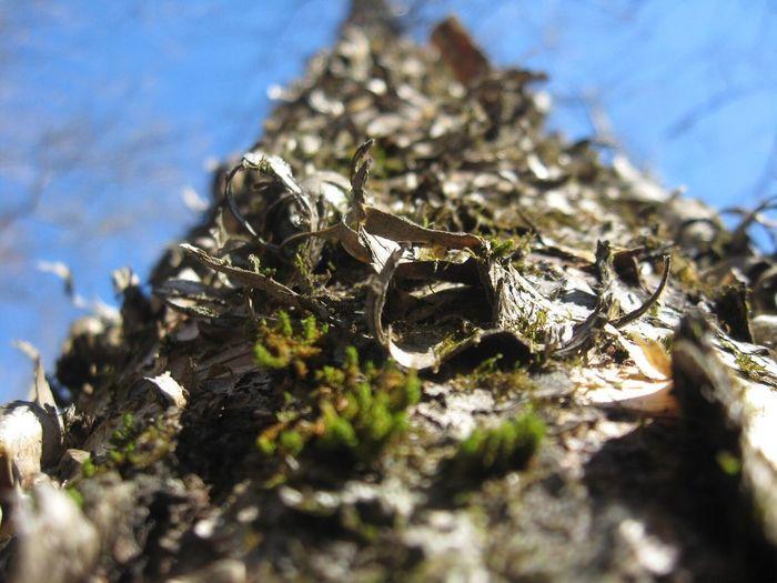 Black Birch Birch Birch Tree Macro Tree Wildlife Wildlifephotography Nature Bark Bark Close-up