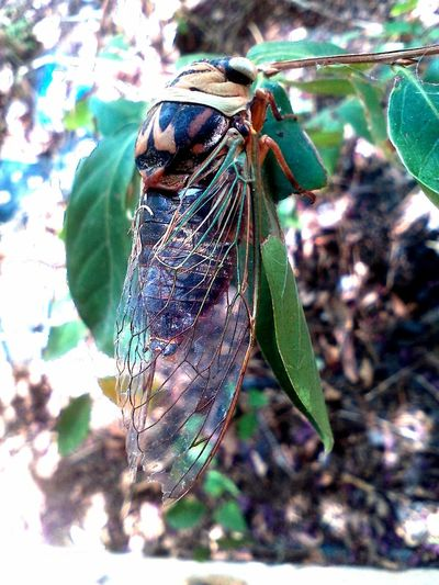 Cicada EyeEm Nature Lover Nature Animal Wildlife Animals In The Wild Insect Insect In Nature Insect Photography Insects Collection Leaf Nature_collection
