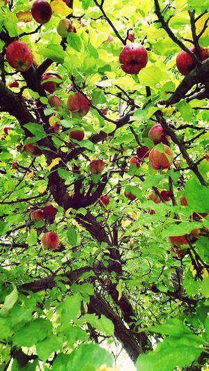 Fresh Montana Apples. Nature Photography Montana Hug A Tree