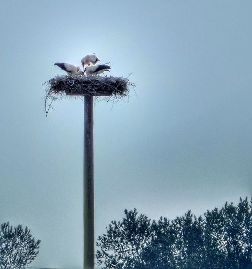 Stork's Nest Storks Family Family Life Low Angle View Animal Themes Animals In The Wild Bird Animal Wildlife Nature Outdoors Tree Silhouette Stork Sky Perching Day No People Beauty In Nature Clear Sky Germany🇩🇪 Investing In Quality Of Life The Week On EyeEm