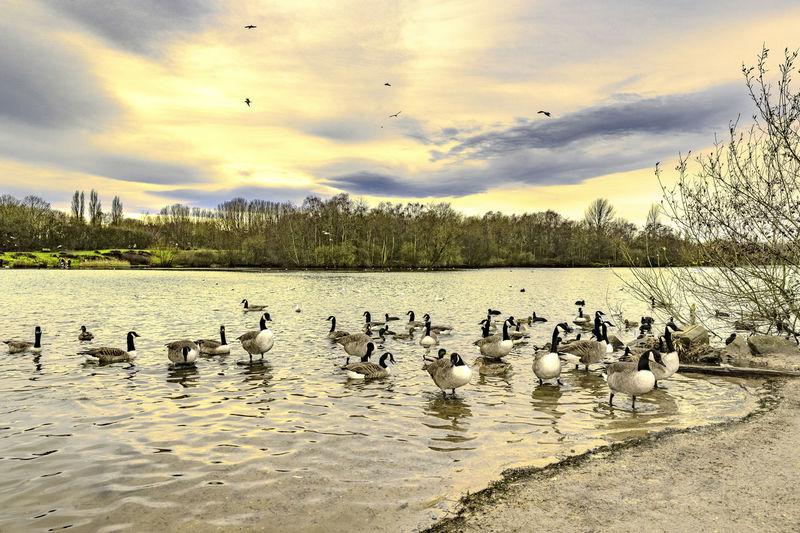 Birds swimming in lake against sky