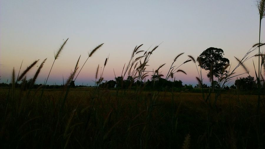 Scenic view of field against clear sky at sunset