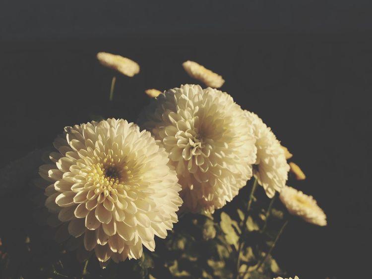 Chrysanthemum Flowers Flowers,Plants & Garden In My Garden