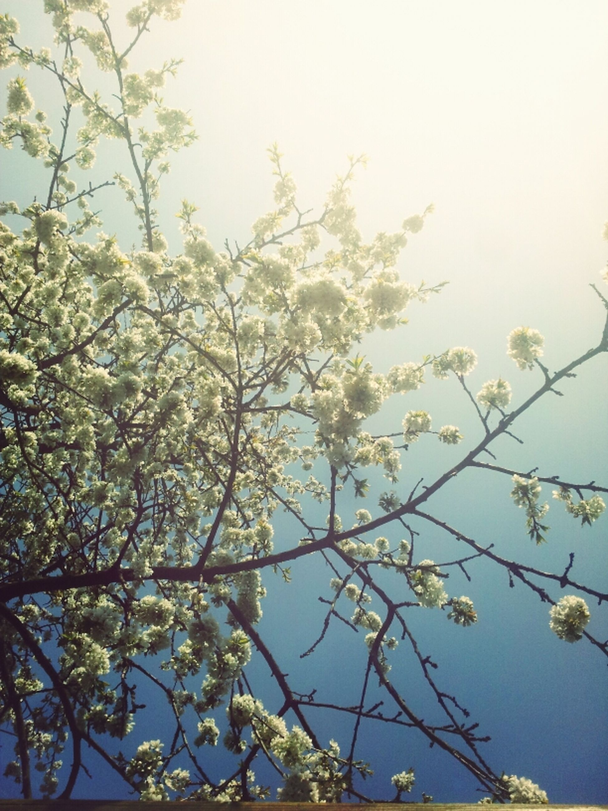 low angle view, branch, tree, flower, growth, clear sky, freshness, beauty in nature, nature, sky, fragility, blossom, day, no people, outdoors, twig, high section, blooming, leaf, tranquility