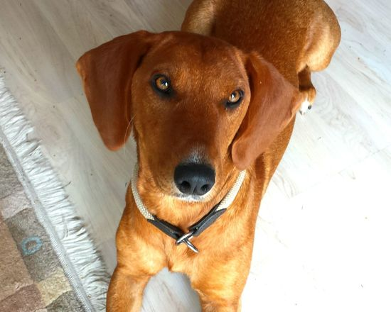 """Dog Love Doggies Dog Dackel-labrador- Mischling franky, ehemaliger strassenhund aus serbien, vor dem vergasen dort gerettet durch eine private """"hunde-rettung-Vereinigung"""". / A happy dog - since may 15 - now is Franky, a former street dog. it is from serbia and was saved by a private german dog rescue association, just early enough before becoming """"killed through gas"""" . not only had it to """"learn German"""" but also to accept commandos. but it is doing fine. 👏👍 Dogstagram Dogs Of EyeEm Dog Lover Untold Stories"""