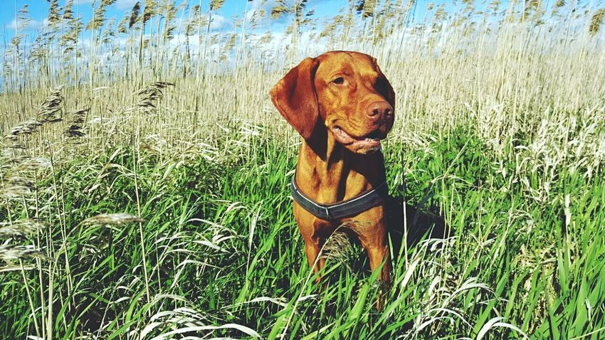 Dog Domestic Animals One Animal Outdoors Travel Destinations Dogstagram Ijuma Von Terra Lebusana Hungarian Vizsla Vizslaoftheday Oderbruch