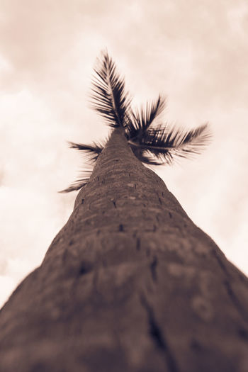 Coconut palm tree in bavaro beach, Punta cana, Dominican Republic Artistic BavaroBeach Coconut Dominican Republic Exotic Palm Tree Relaxing Background Bavaro Caribbean Close-up Coconut Palm Tree Coconut Trees Low Angle View Nature No People Outdoors Paradise Punta Cana Sepia Sky Summer Tree Tree Trunk View From Above