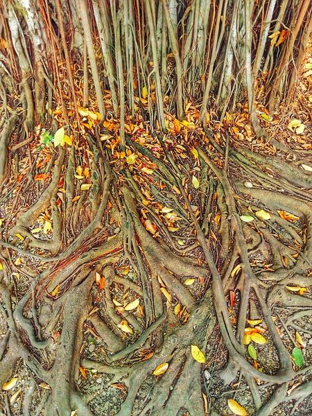 Root Roots Roots Of Tree Banyan Tree Roots Banyan Root Banyan Tree Banyan Root Of Banyan Tree Root Of A Tree Root Of The Tree Root Of Tree Nature Nature Photography Nature Collection Beauty Of Nature