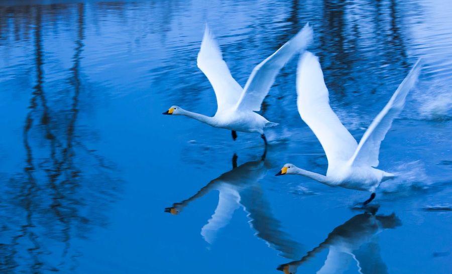 Bird Flying Swan Two Animals 伊豆沼