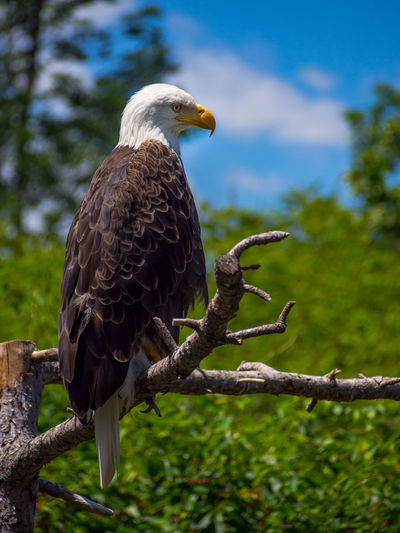 Close-up of eagle perching on branch against sky