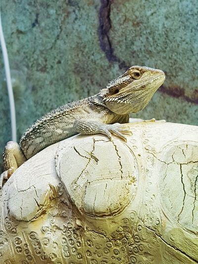 Bearded Dragon Lizard Reptile Petstore Fresh On Eyeem