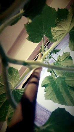 This Is Perspective day 21. Cucumber Plant Growing Tall Repotting Attention Needed. Window Sill Looking Up Green Leaves