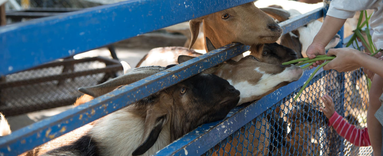 Cropped image of people feeding beans to goat at farm