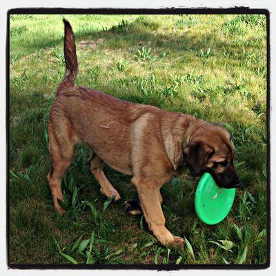 Sharik Playing Fetch