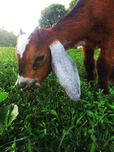 Baby Nubian dairy goat Domestic Animals Animal Themes Grass Livestock Mammal Field One Animal Day Grazing No People Green Color Brown Outdoors Close-up Nature Goat Goats Baby Goats Baby Goat Kid Goat Kid Farm Animals Dairy Goat Dairy Farm Life