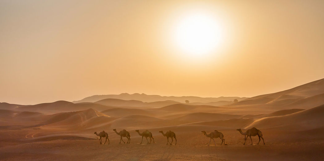 Middle eastern camels in the desert in uae at the sunrise