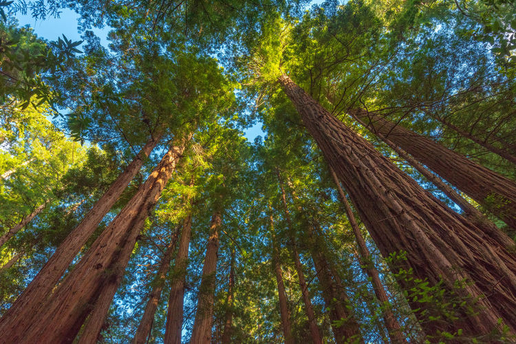Redwoods Tree Plant Low Angle View Forest Growth Nature Beauty In Nature Day Land Sky Tree Trunk No People Branch Tranquility WoodLand Green Color Scenics - Nature Outdoors Tree Canopy  Pine Tree Directly Below Pine Woodland Rainforest Bamboo - Plant