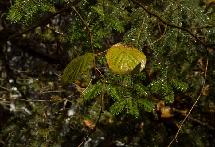 Wet Leaves Beauty In Nature Branch Close-up Day Freshness Green Color Growth Landscape Leaf Leaves Nature No People Outdoors Pine Tree Twig Twigs And Branches Water Wet Leaf Wet Leaves