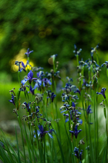 Animal Themes Beauty In Nature Blooming Close-up Day Flower Flower Collection Flower Head Flowers Fragility Freshness Green Color Growth Iris Iris - Plant Nature No People Outdoors Plant Purple Selective Focus
